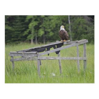 Cartão Postal Uma águia americana empoleirada sobre uma cortina