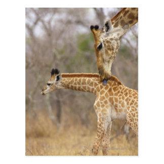 Cartão Postal Uma opinião lateral um girafa que lambe seus