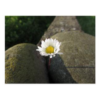 Cartão Postal Única flor da margarida branca entre as pedras