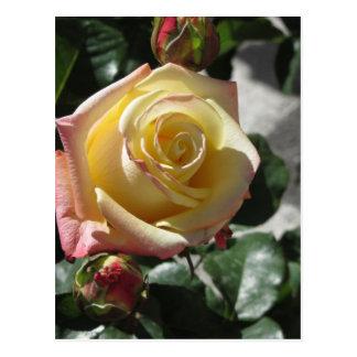 Cartão Postal Única flor do rosa amarelo no primavera