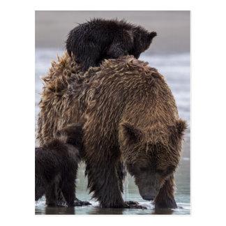 Cartão Postal Urso de Brown no parque nacional de Clark do lago