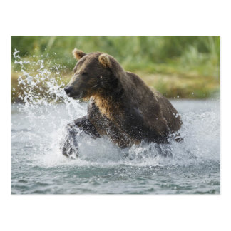 Cartão Postal Urso de Brown que persegue salmões no rio