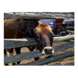 Cartão Postal Vaca