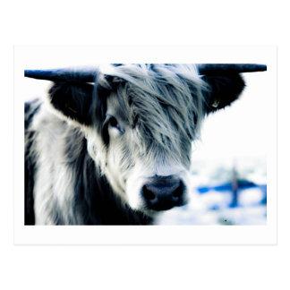 Cartão Postal Vaca das montanhas