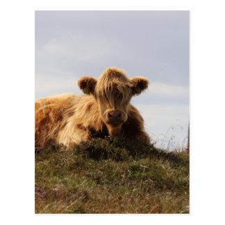 Cartão Postal Vaca de Luing na ilha de Islay, Scotland