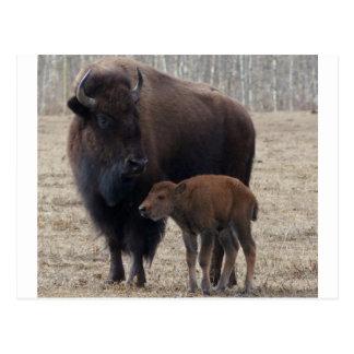 Cartão Postal Vaca do bisonte e vitela 1