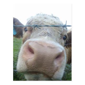 Cartão Postal Vaca escocesa