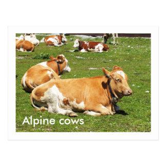 Cartão Postal Vacas alpinas
