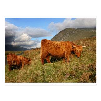 Cartão Postal Vacas escocesas das montanhas - Scotland