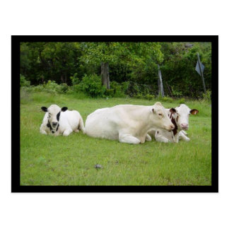 Cartão Postal Vacas Hindu