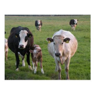 Cartão Postal Vacas irlandesas