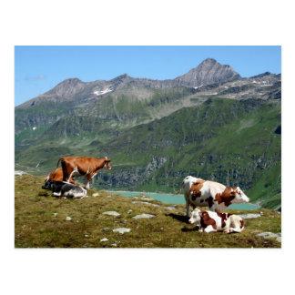 Cartão Postal Vacas nas montanhas