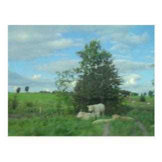 Cartão Postal Vacas no prado