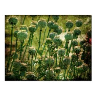 Cartão Postal Vagens da semente de flor da papoila