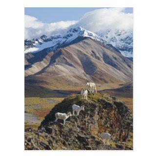 Cartão Postal Vara de cinco ram dos carneiros de Dall em um