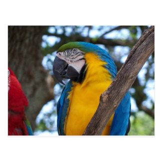 Cartão Postal Verde amarelo e Macaw tropical azul