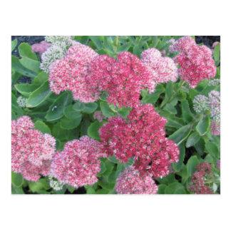 Cartão Postal Verde de florescência do rosa da planta de jardim