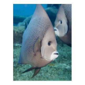 Cartão Postal Vida subaquática, PEIXE:  um par de Angelfish