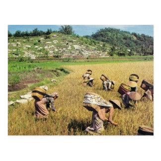 Cartão Postal Vintage Indonésia, colhendo o arroz, perto de