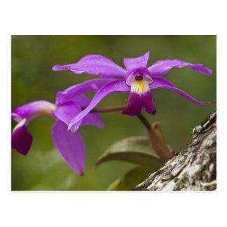 Cartão Postal Violacea violeta de Cattleya da orquídea de