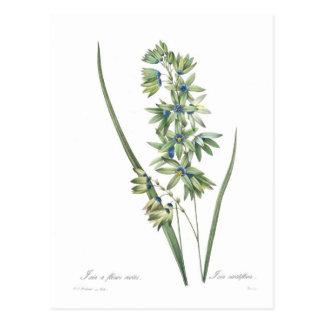Cartão Postal Viridiflora do Ixia