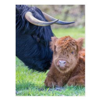 Cartão Postal Vitela escocesa recém-nascida do escocês com vaca