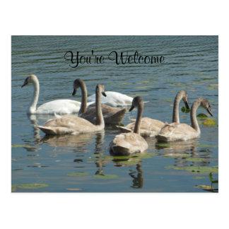 Cartão Postal Você é rebanho bem-vindo da família das cisnes