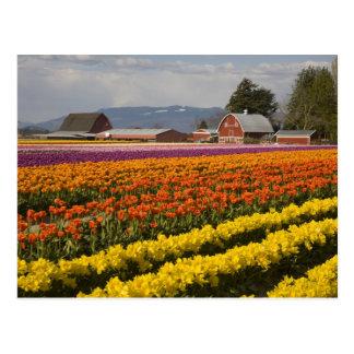Cartão Postal WA, vale de Skagit, tulipa coloca na flor, em