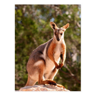 Cartão Postal Wallaby de rocha amarelo-footed australiano