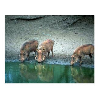 Cartão Postal Warthogs