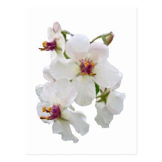 Cartão Postal Wildflower de Mullein da traça