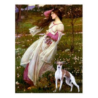 Cartão Postal Windflowers - galgo italiano 7