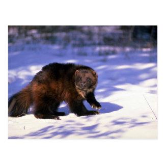 Cartão Postal Wolverine na neve