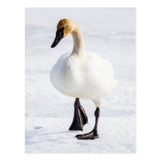 Cartão Postal Wyoming, refúgio nacional dos alces, cisne de