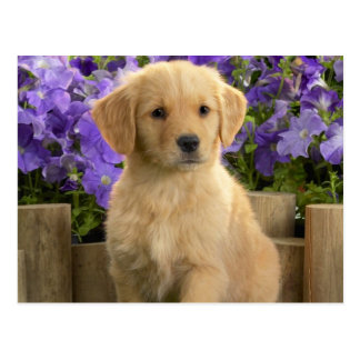 Cartão Postal Yellow labrador Puppy