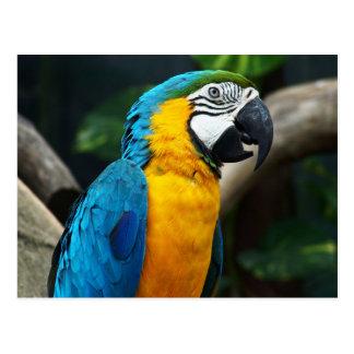 Cartão Postal Yellow Macaw (era ararauna)