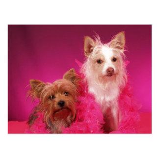 Cartão Postal Yorkies e boas cor-de-rosa