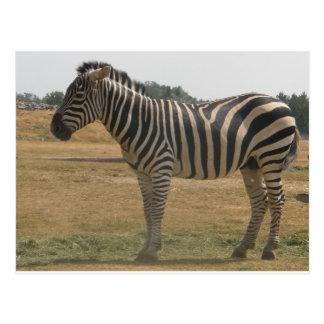 Cartão Postal zebra