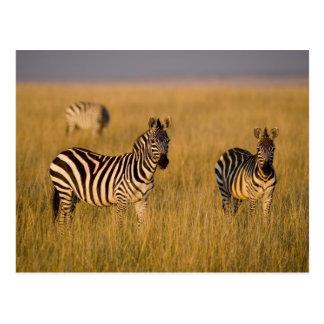 Cartão Postal Zebra das planícies (quagga do Equus) na grama,