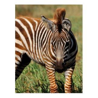 Cartão Postal Zebra do bebê