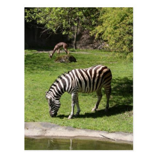 Cartão Postal Zebra e gazela