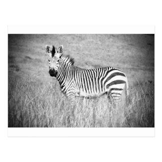 Cartão Postal Zebra preto e branco