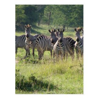 Cartão Postal Zebras em Uganda