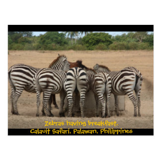 Cartão Postal Zebras que comem o pequeno almoço