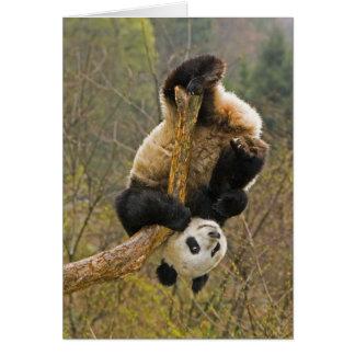 Cartão Reserva da panda de Wolong, China, 2 1/2 ano