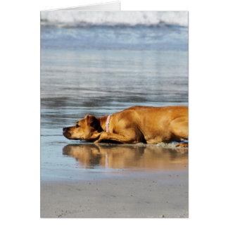 Cartão Rhodesian Ridgeback - está a água fria?