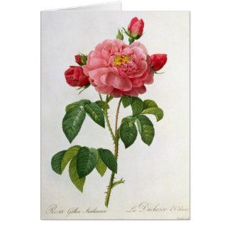 Cartão Rosa Gallica Aurelianensis