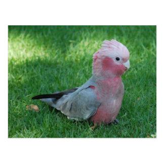 Cartão róseo do Cockatoo
