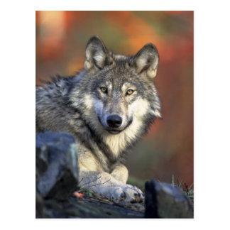 cartão selvagem do lobo