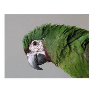 Cartão severo do Macaw